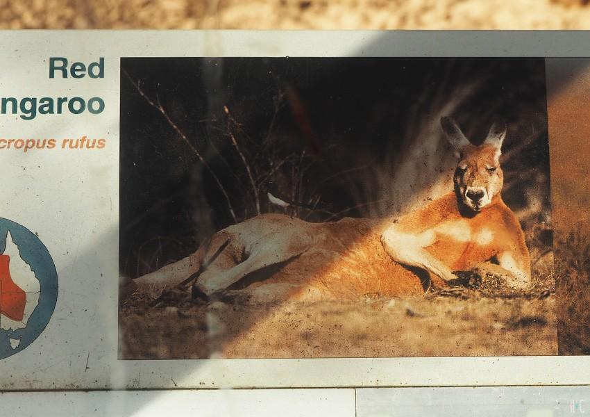 114-taronga-red-kangaroo-sign