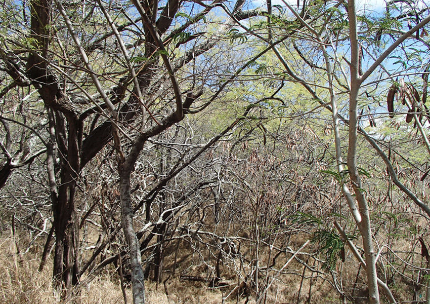 117-diamondhead-dry-trees