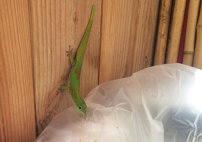 119-northshore-lizard